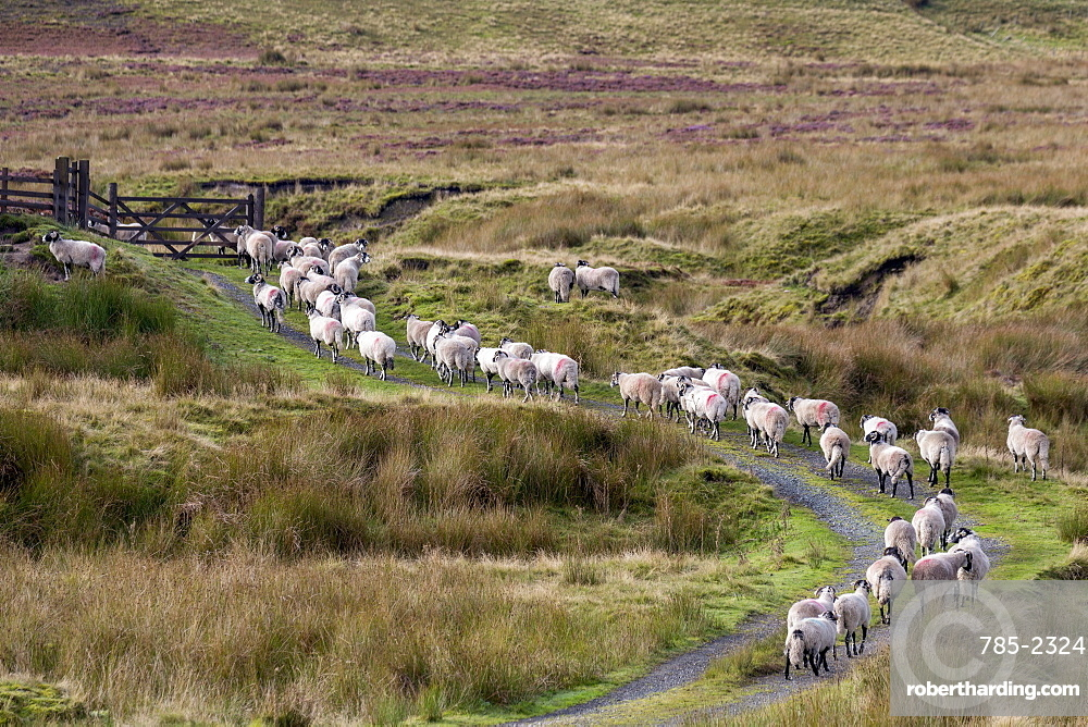 A herd of Swaledale sheep walking along a path on a hillside in the Forest of Bowland in Lancashire, England, United Kingdom, Europe