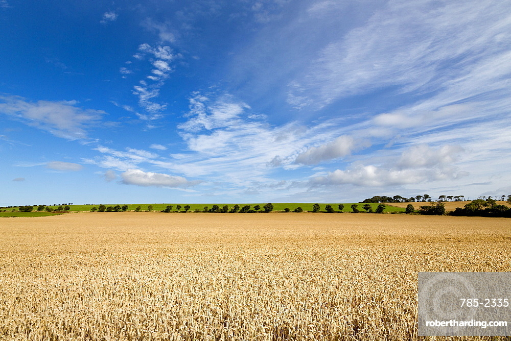 Large ripening wheatfield in Northumberland, England, United Kingdom, Europe