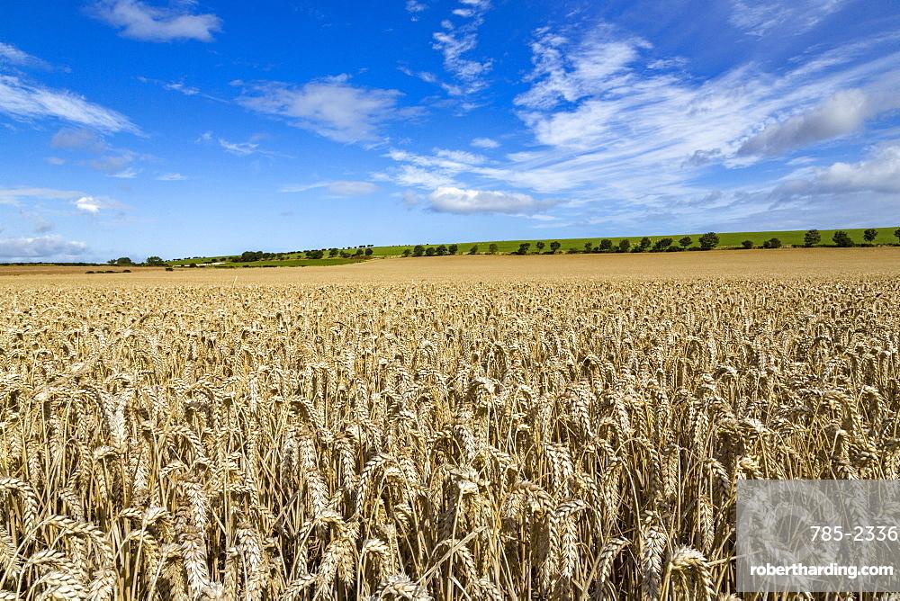 Large ripening wheatfield in Northumberland, England, United Kingdom, Europe