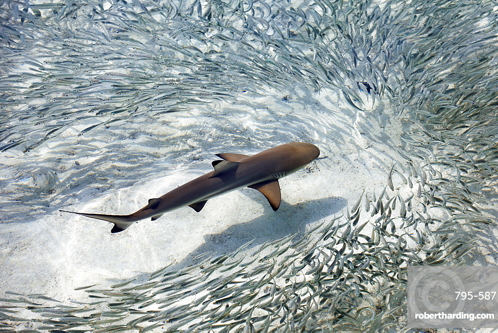Baby black-tip reef shark being surrounded by a school of silver sprats in a shallow lagoon, maldives