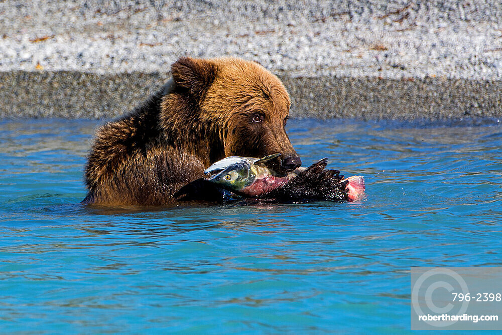 Grizzly or brown bear (Ursus arctos) at Crescent Lake, Lake Clark National Park and Preserve, Alaska, USA.