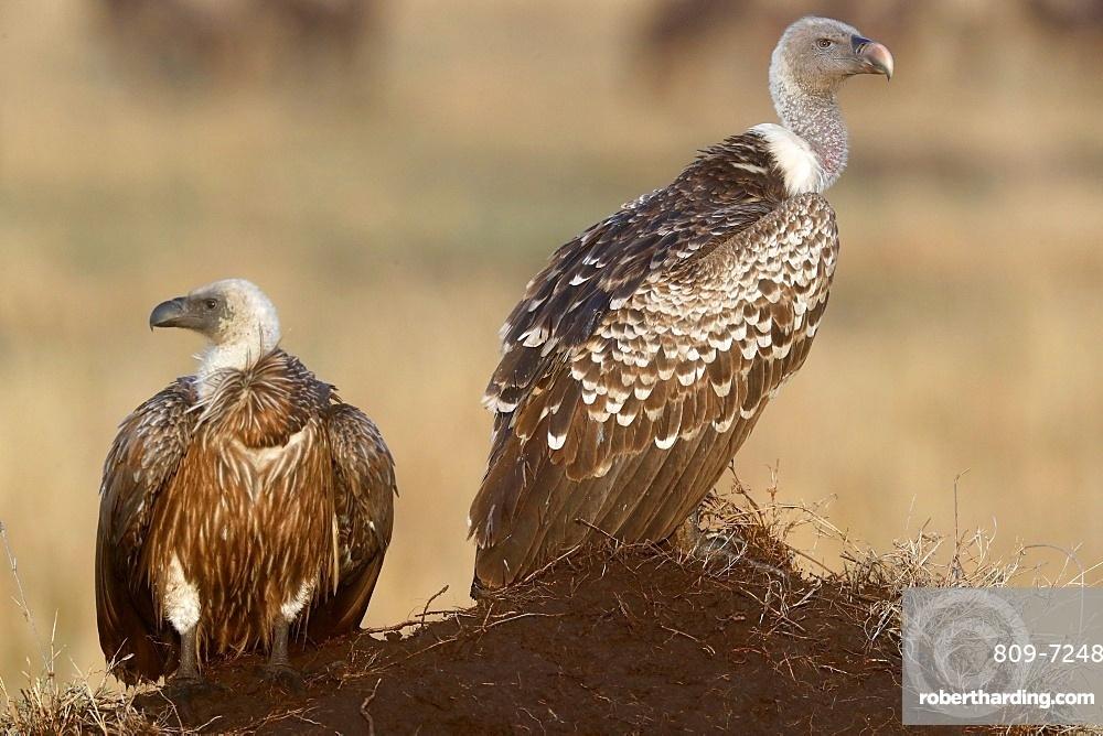 Flying white-backed vulture (Gyps africanus), Masai Mara Game Reserve, Kenya, East Africa, Africa