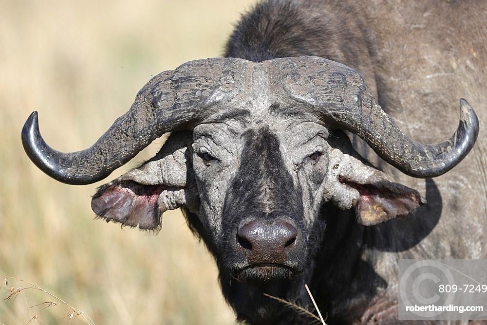 Portrait of an African buffalo, Masai Mara Game Reserve, Kenya, East Africa, Africa