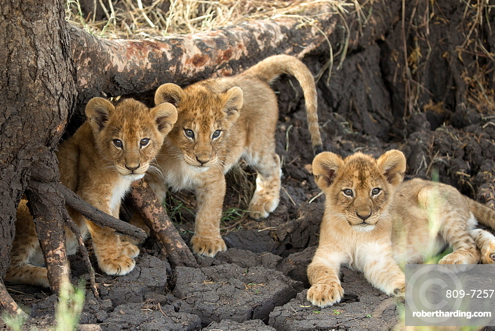 Lion cubs (Panthera leo), Serengeti National Park, Tanzania, East Africa, Africa