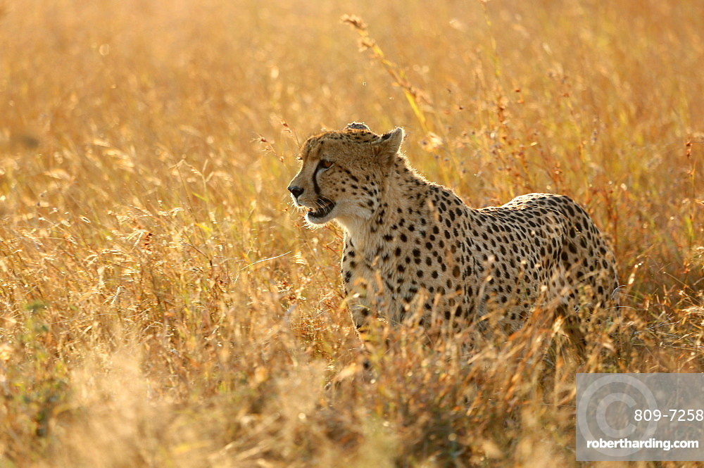 Cheetah ( Acinonyx jubatus ) in savanna, Lower Sabie, Kruger National Park, South Africa, Africa