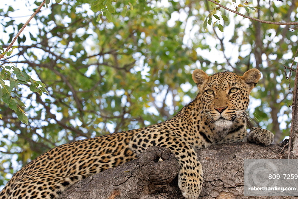 Kruger National Park. Leopard (Panthera pardus) on a branch of a tree. South Africa.
