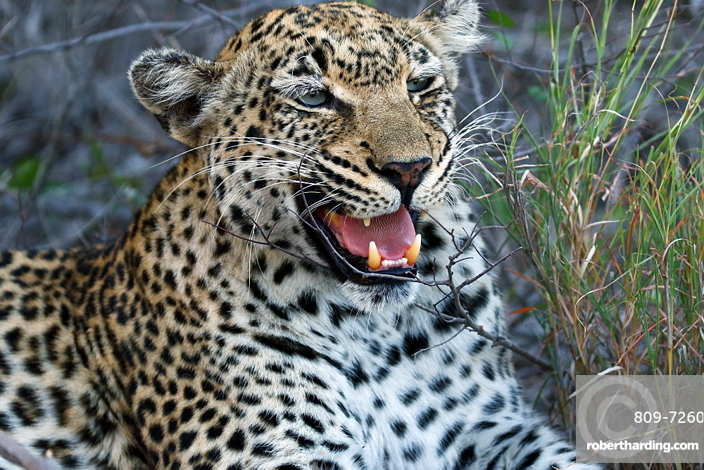 African leopard (Panthera pardus) in savanna, Kruger National Park, South Africa, Africa