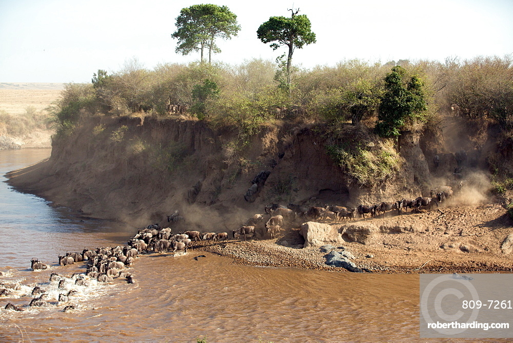 Herd of migrating wildebeest (Connochaetes taurinus) crossing Mara River, Masai Mara National Reserve, Kenya, East Africa