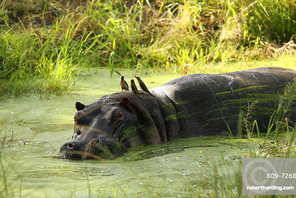 Hippopotamus immersed in water, Kruger National Park, South Africa, Africa