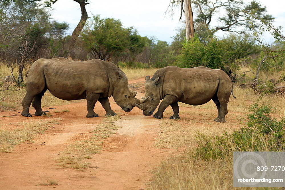 White rhinoceros (Ceratotherium simum) pair, Kruger National Park, South Africa, Africa