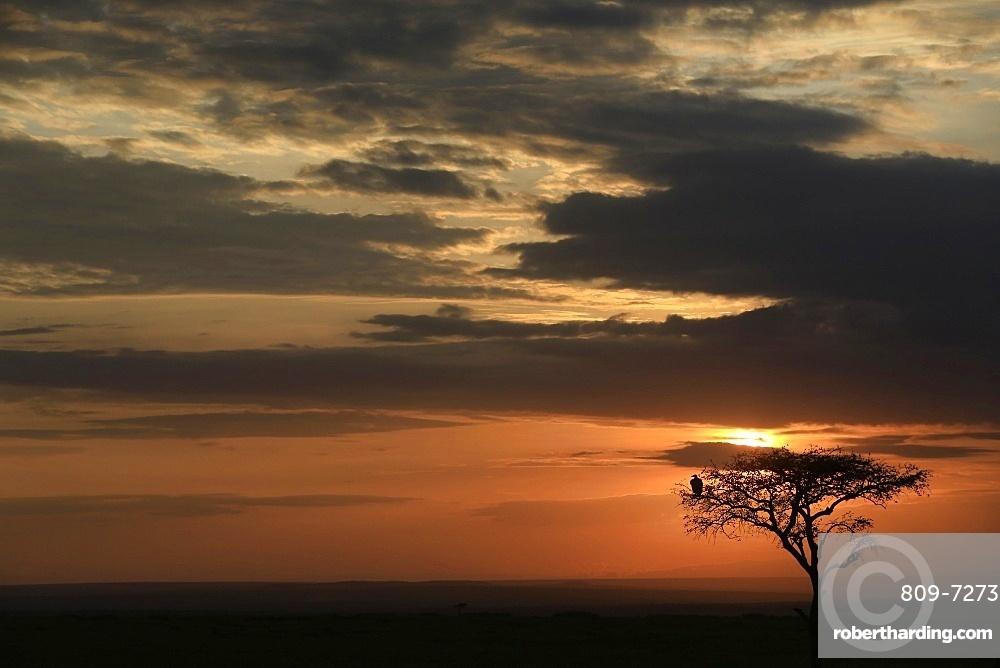 Silhouette of a tree at sunrise, Masai Mara Game Reserve, Kenya, East Africa, Africa