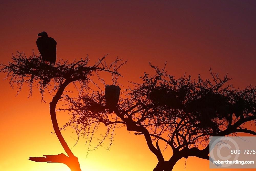 Griffon Vulture (Gyps fulvus) in a tree at sunrise. Masai Mara game reserve. Kenya.