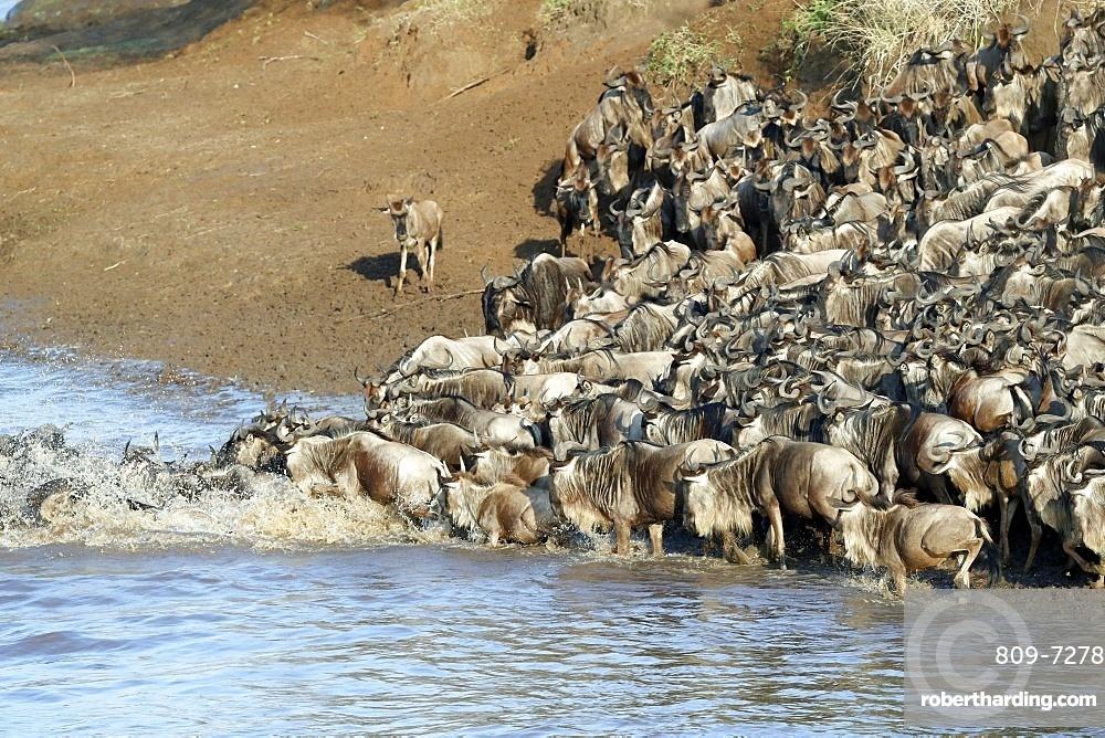 Herd of migrating wildebeest (Connochaetes taurinus) crossing Mara River, Masai Mara Game Reserve, Kenya, East Africa, Africa