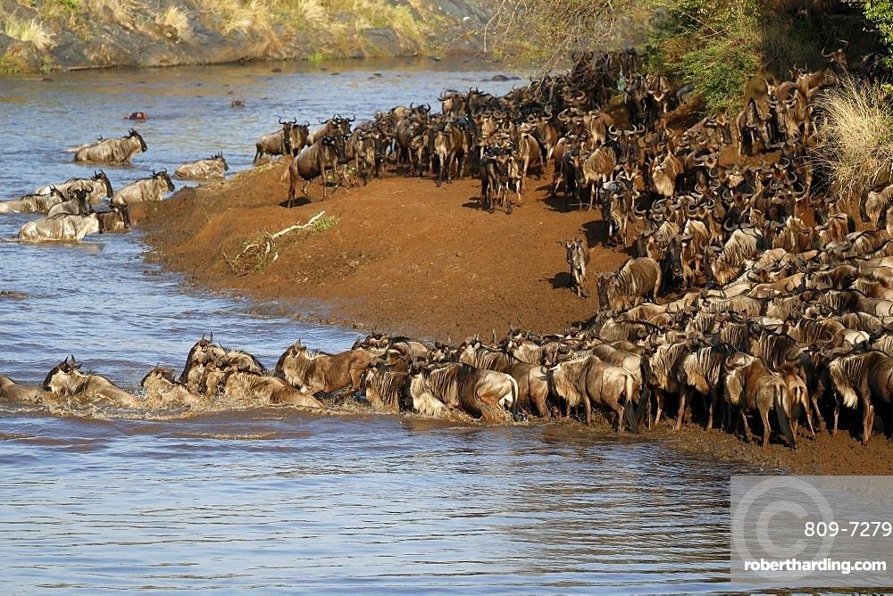 Herd of migrating wildebeest (Connochaetes taurinus) crossing Mara river. Masai Mara game reserve. Kenya.