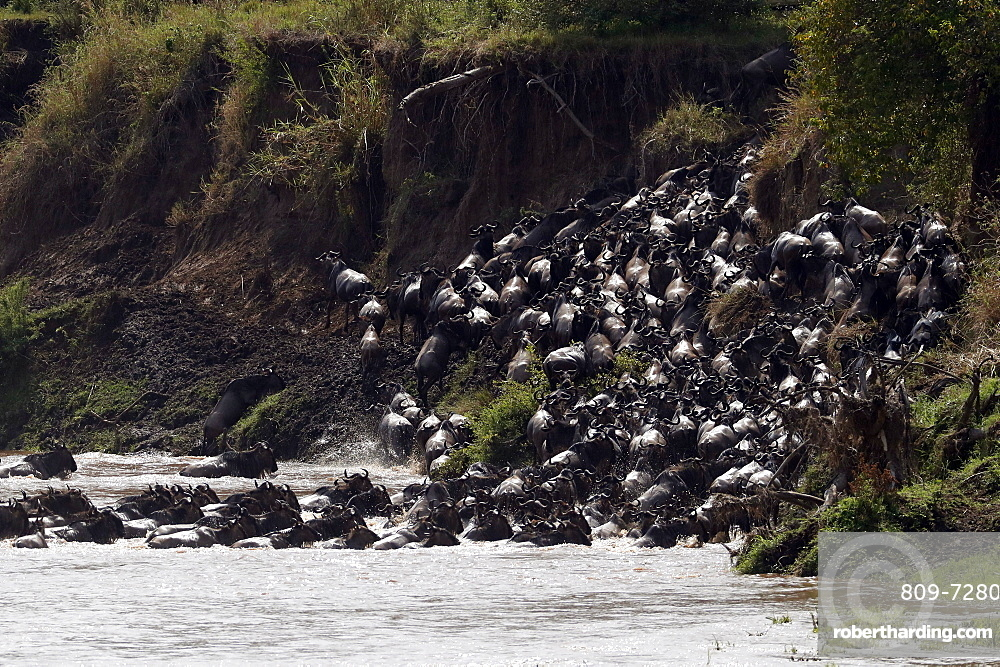 Herd of migrating wildebeest (Connochaetes taurinus) crossing Mara River, Masai Mara Game Reserve, Kenya, East Africa, Africa