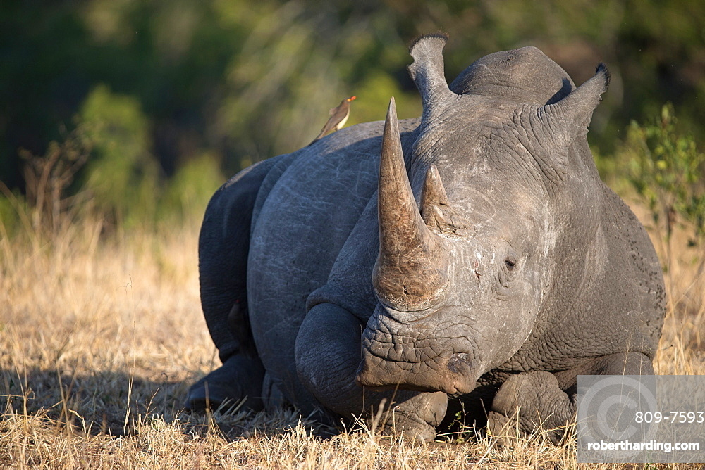 Rhinoceros (Ceratotherium simum) in savanna, Kruger National Park, South-Africa, Africa