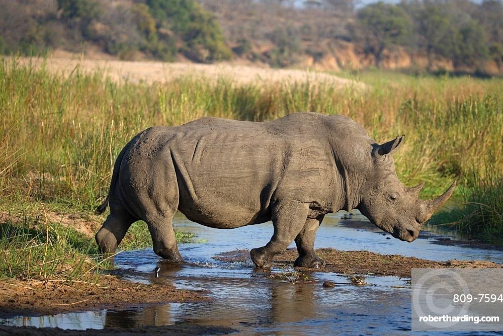 Rhinoceros (Ceratotherium simum) in savanna, Kruger National Park, South-Africa, Africa