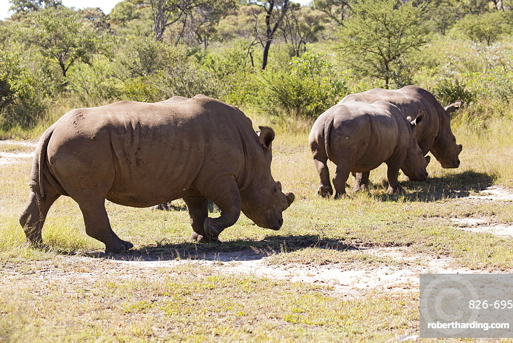 A group of white rhinos (Ceratotherium simum) (square-lipped rhinoceros), in Matobo National Park, Zimbabwe, Africa