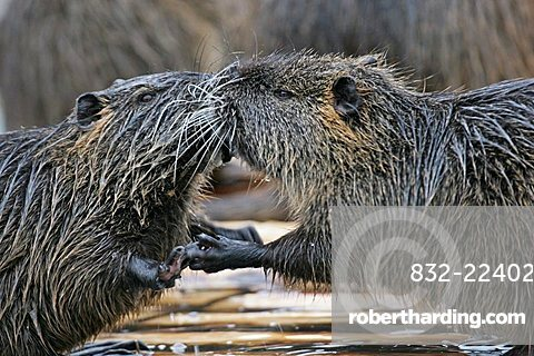 nutria pair in love (Myocastoridae)