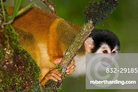 Central American Squirrel Monkey (Saimiri oerstedii), Costa Rica, Central America