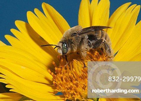 Leafcutter bee, mason bee (Megachilidae), adult feeding on daisy, Sinton, Corpus Christi, Coastal Bend, Texas, USA
