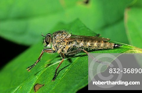 Robber fly (machismo sp.)