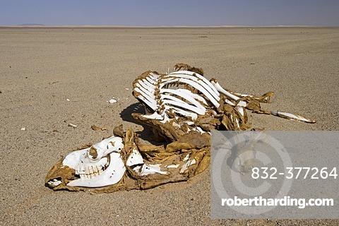 Dead camel in the desert