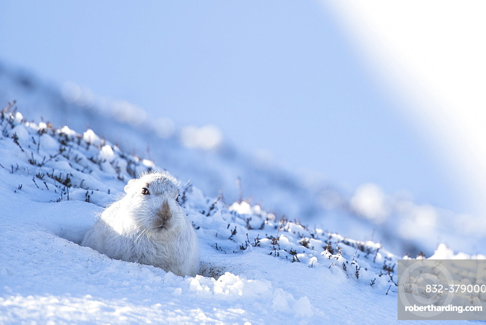 Mountain hare (Lepus timidus) sitting in snow, winter coat, Cairngroms National Park, Scottish Highlands, Scotland, United Kingdom, Europe