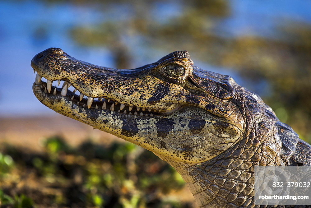 Yacare Caiman (Caiman yacare, Caiman crocodilus yacara), Pantanal, Mato Grosso do Sul, Brazil, South America