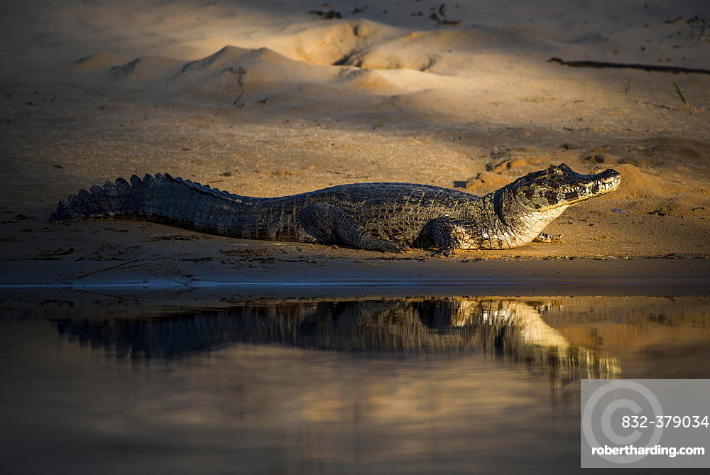 Yacare caiman (Caiman crocodilus yacara) by the water, Pantanal, Mato Grosso do Sul, Brazil, South America