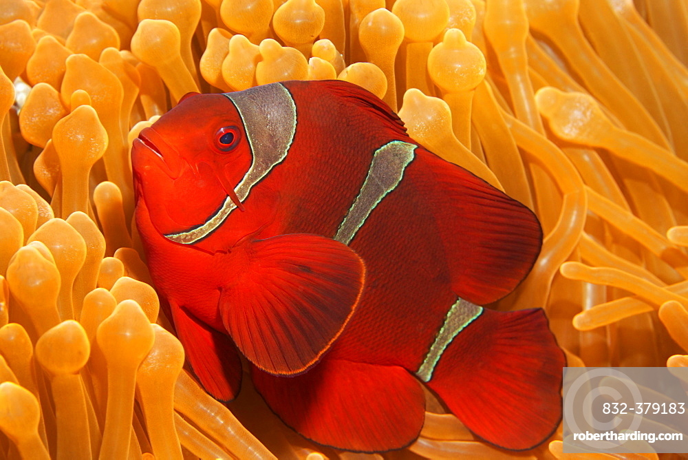 Spine-cheeked anemonefish (Premnas biaculeatus) in Ritteri anemone (Heteractis magnifica), Saparua, Maluku Islands, Banda Sea, Pacific Ocean, Indonesia, Asia