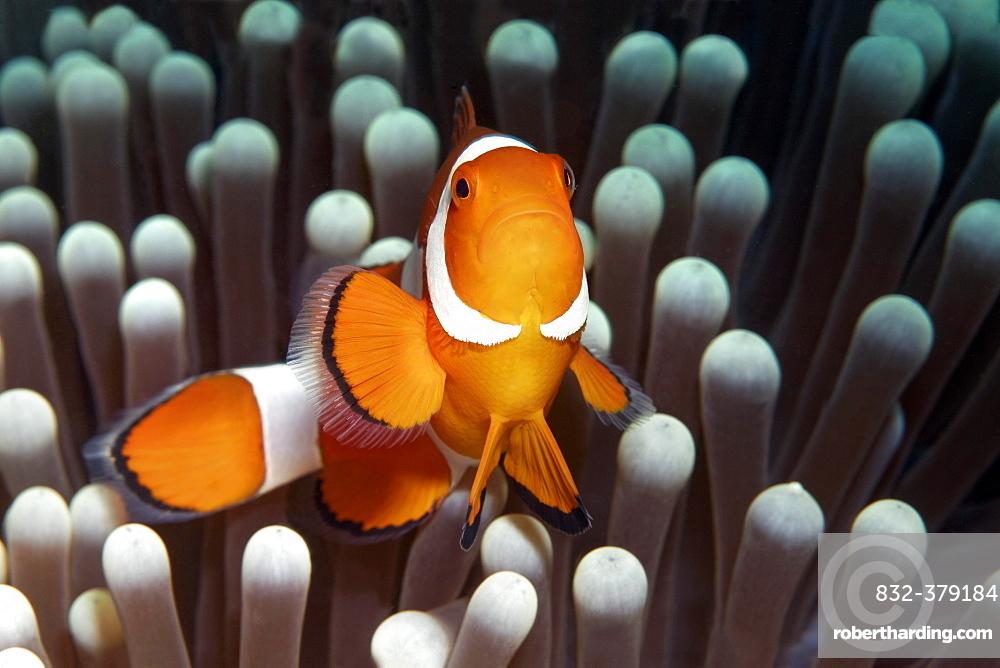 Ocellaris clownfish (Amphiprion ocellaris) in front of Ritteri anemone (Heteractis magnifica), Saparua, Maluku Islands, Banda Sea, Pacific Ocean, Indonesia, Asia