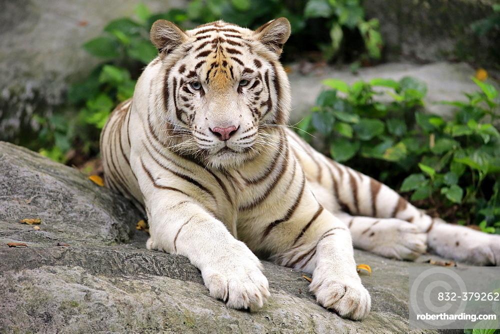 White Bengal tiger (Panthera tigris tigris) lying on rock, adult resting, portrait, captive, native to India