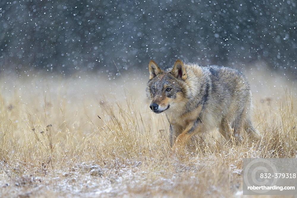 Gray wolf (Canis lupus), runs across a meadow in heavy snowfall, National Park Little Fatra, Slovakia, Europe