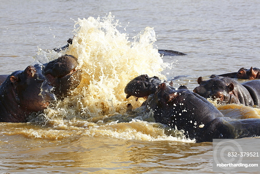 Hippos arguing (Hippopatamus amphibius) in the water, iSimangaliso Wetland Park, National Park, Kwazulu Natal, South Africa, Africa