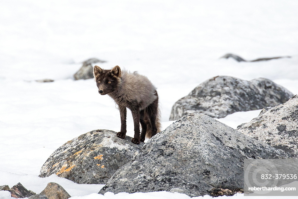 Arctic fox (Vulpes lagopus), in the snow, Spitsbergen, Norway, Europe