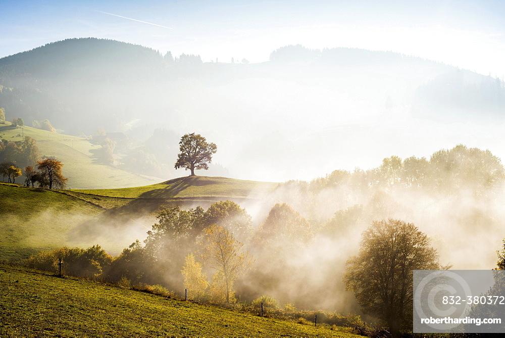 Solitary oak, English oak (Quercus robur) in autumn fog, Freiburg im Breisgau, Black Forest, Baden-Wurttemberg, Germany, Europe