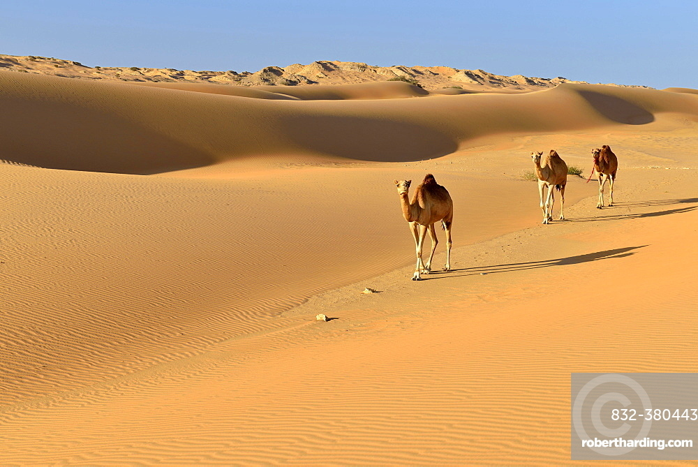 Dromedaries (Camelus dromedarius) walking in the sanddunes of Al Khaluf desert, Sharqiyah, Oman, Arabia, Asia