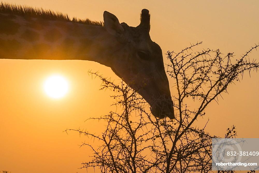 Giraffe (Giraffa camelopardis) feeding on camel thorn tree, Etosha National Park, Namibia, Africa