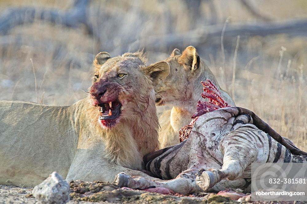Two Lions (Panthera leo), bloodstained, feeding from Burchell's Zebra (Equus quagga burchellii) carcass, Etosha National Park, Namibia, Africa