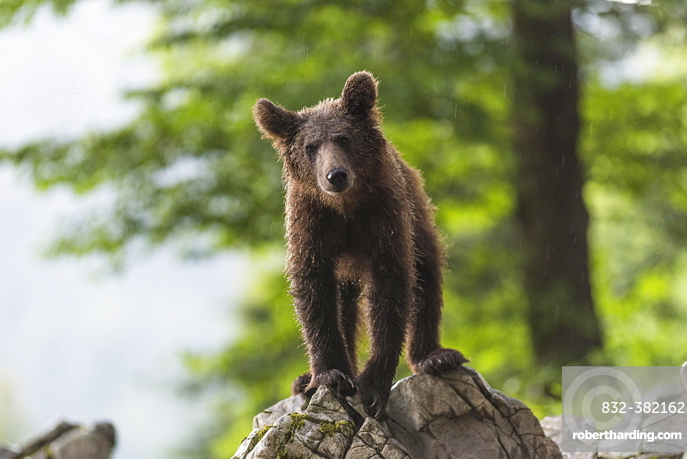 European Brown bear (Ursus arctos), in the forest, young animal, Notranjska region, Slovenia, Europe