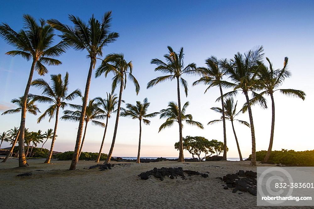 Palm grove at coast, Kikaua Point Park, Big Island, Hawaii, USA, North America