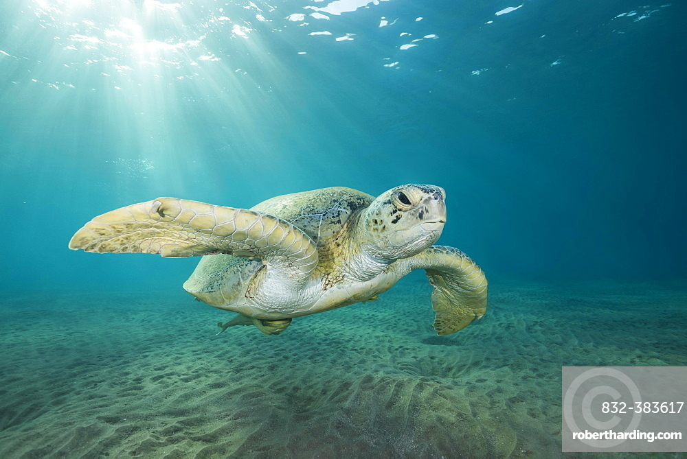 Green Sea Turtle (Chelonia mydas) swim over sandy bottom in the blue water, Red Sea, Marsa Alam, Egypt, Africa