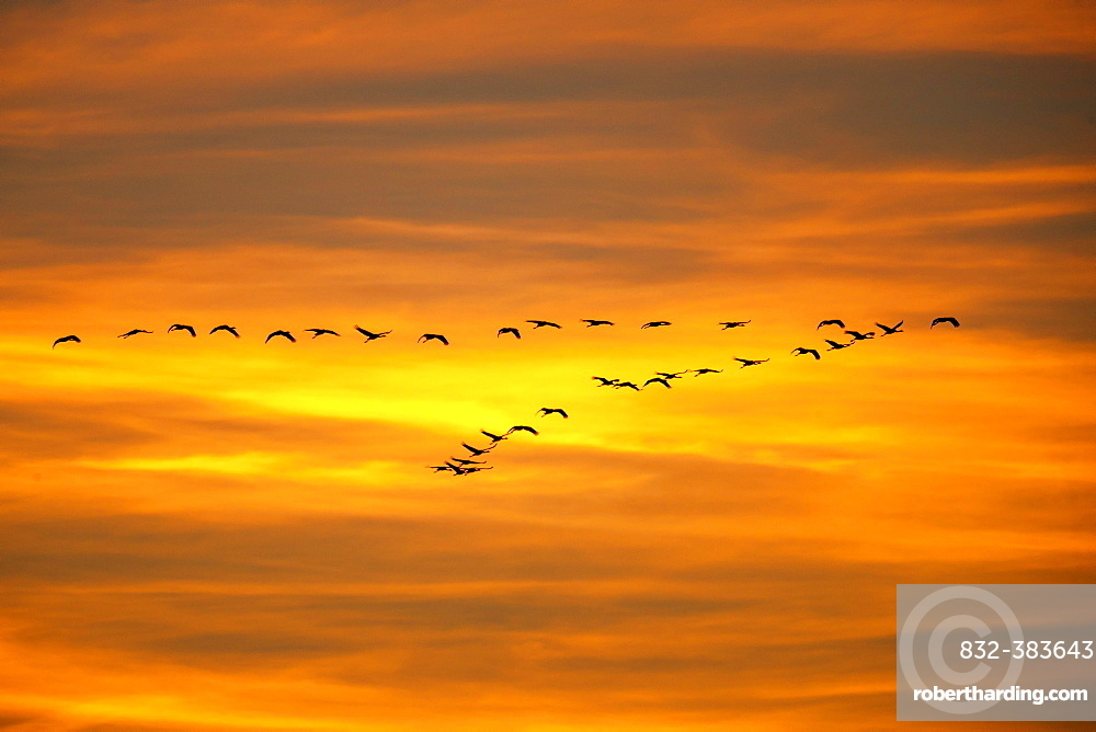 Common cranes (Grus grus), swarm of birds flies at sunset, Western Pomerania Lagoon Area National Park, Mecklenburg-Western Pomerania, Germany, Europe