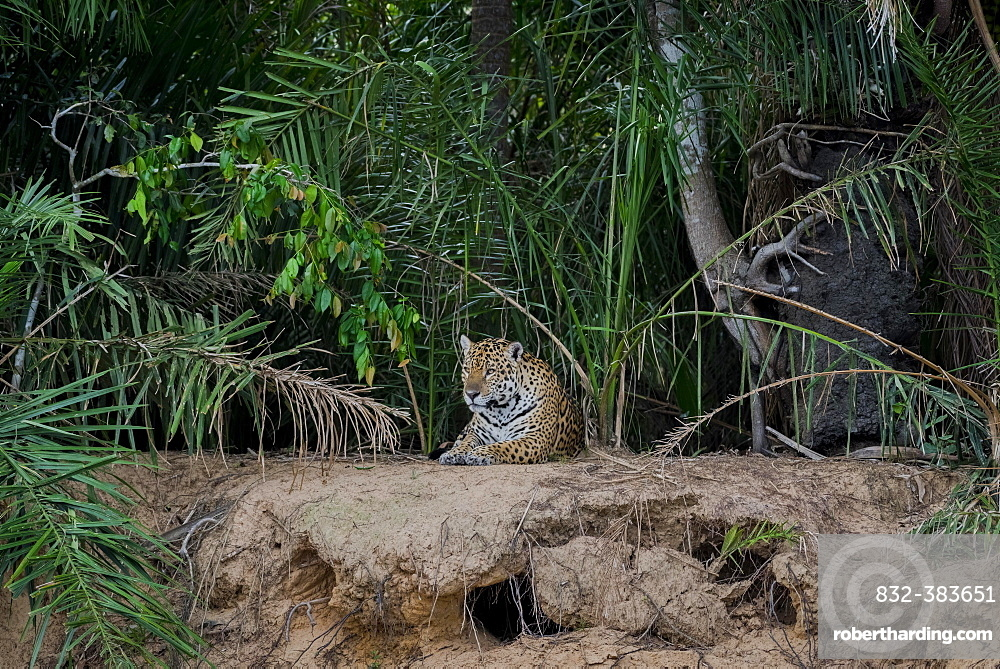 Jaguar (Panthera onca) on the lookout, banks of the Rio Negro, dense vegetation, Barranco Alto, Pantanal, Mato Grosso do Sul, Brazil, South America
