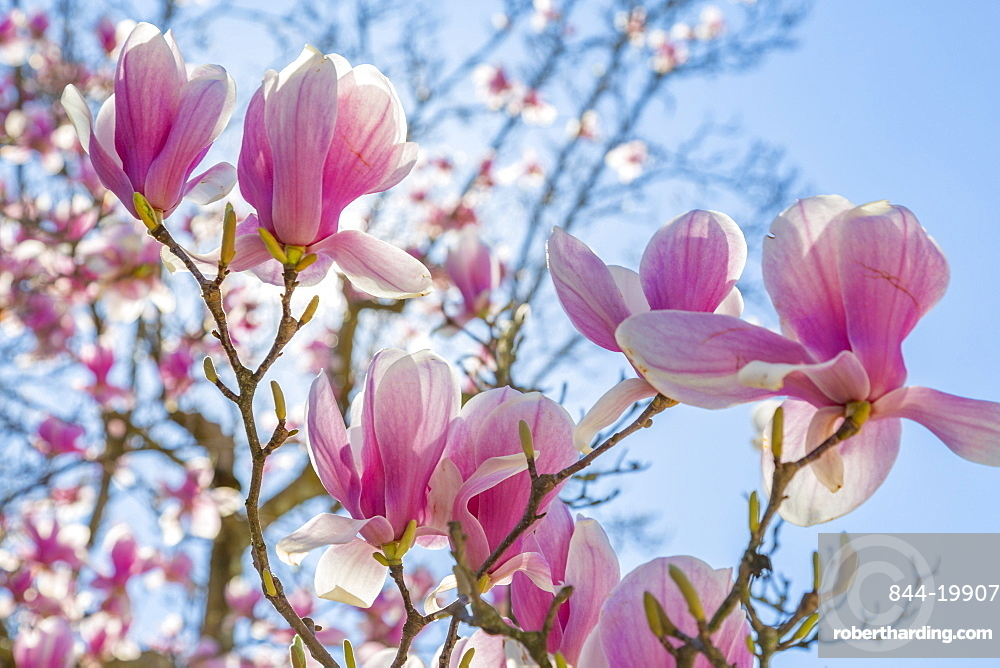 Close up of Magnolias, Washington DC, District of Columbia, United States of America