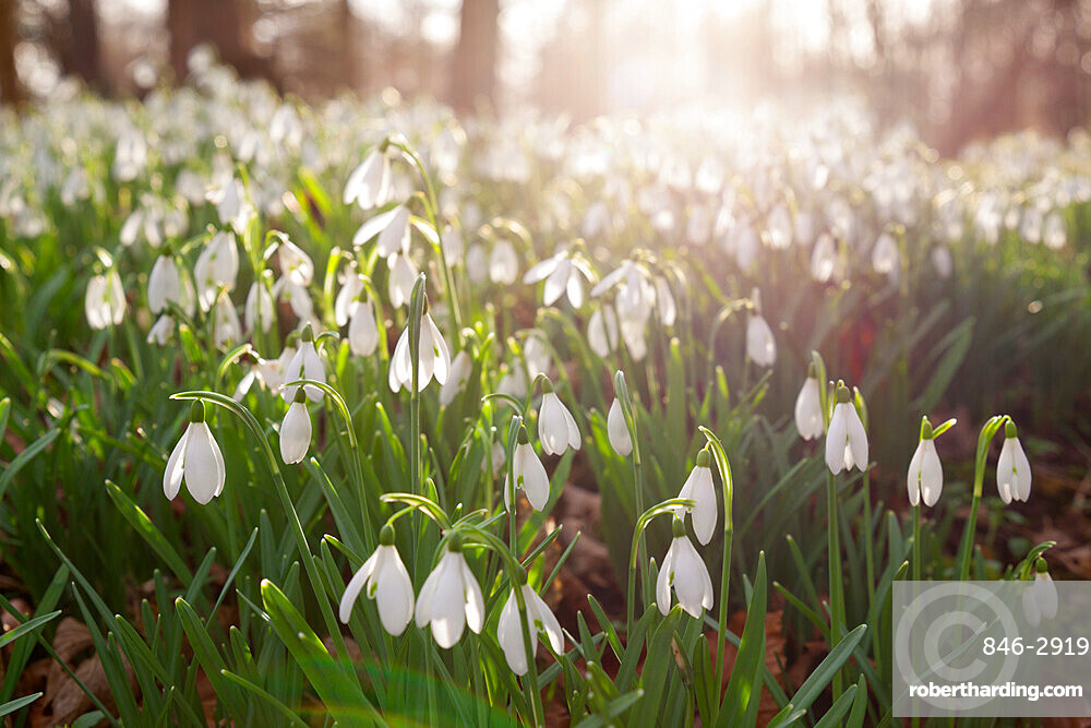 Snowdrops in winter woodland, The Cotswolds, Gloucestershire, England, United Kingdom, Europe