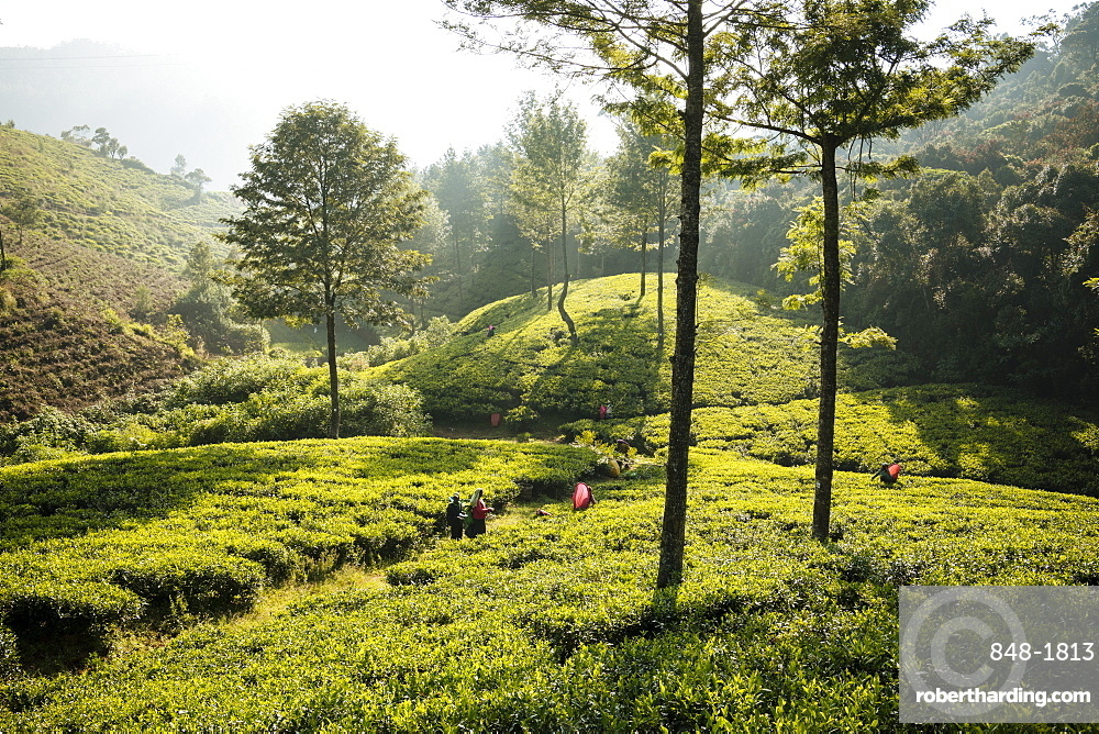 Tea estate, Nuwara Eliya, Central Province, Sri Lanka, Asia
