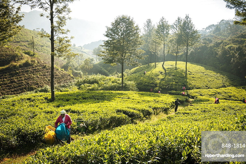 Nuwara Eliya, Central Province, Sri Lanka, Asia