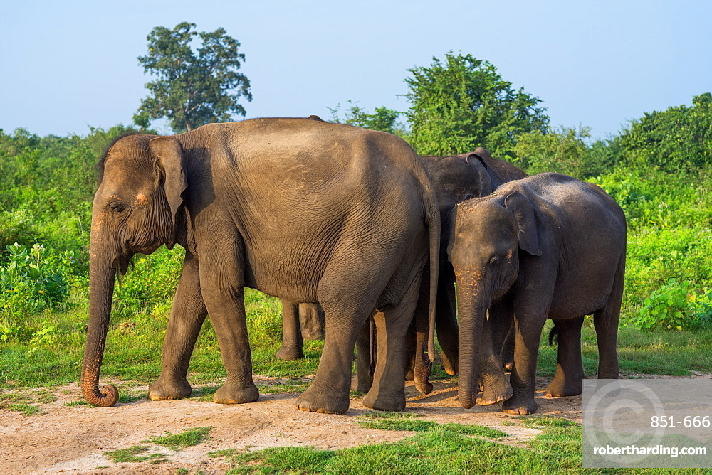 Group of Asian elephants in Udawalawe National Park, Sri Lanka